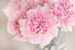 Flowers, Pink, Cloves, Cut Flowers Royalty Free Stock Image