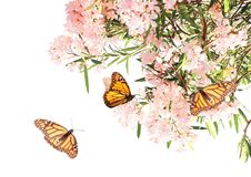 Flowers of pink color and monarch butterflies Stock Images