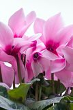 Flowers of pink cyclamen - close up Stock Image