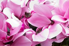 Flowers of pink cyclamen - close up Stock Photo