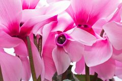 Flowers of pink cyclamen - close up Stock Photography