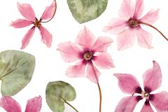 The flowers pink cyclamen dried pressed herbarium stock images