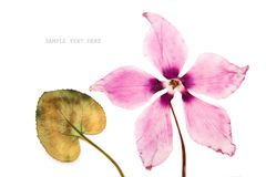 The flowers pink cyclamen dried pressed herbarium royalty free stock photography