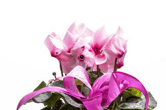 Flowers of pink cyclamen isolated on white background Stock Images