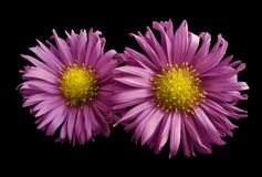 Flowers of pink  daisies on black isolated background. Two chamomiles for design. View from above. Close-up Stock Photo