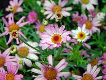 Flowers, Pink Daisy, Nature Royalty Free Stock Images