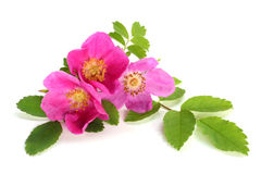 Flowers of pink dog rose with leaves Stock Photo