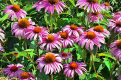Flowers pink Echinacea closeup Royalty Free Stock Photo