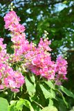 Flowers - Pink flowers of Tabarka,. Flowers - Pink flowers of Tabarka, flowering seasonally, perennials planted in the garden Royalty Free Stock Images