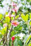 Flowers  pink frangipani (lat.Plumeria) Stock Photos