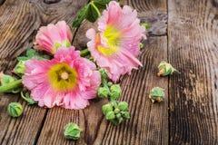 Flowers of pink garden mallow on white background. Studio Photo Stock Photo