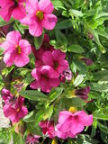 Flowers. Pink flowers in garden in summer Royalty Free Stock Photos