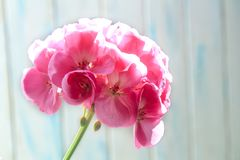 Flowers pink geranium close up. Home pink geranium. On a blue background with sunlight from window. Macro stock photography
