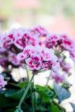 Flowers of pink geranium on street. Flowers of pink geranium on a street royalty free stock image
