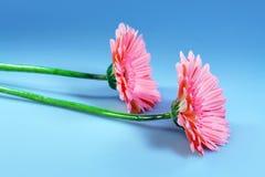 Flowers pink gerbera Stock Photos