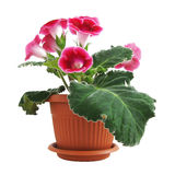 Pink Gloxinia Stock Images