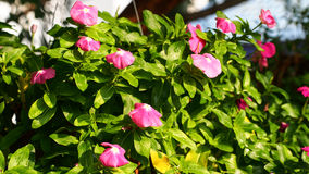 The flowers. The pink flowers on the green leafs Stock Photo