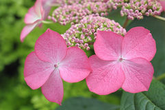 Flowers of pink hydrangea Royalty Free Stock Images