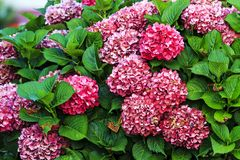 Flowers of pink hydrangea Royalty Free Stock Image