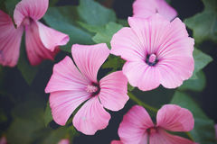 Flowers pink lavatera trimestris (annual mallow). Toning selective focus Stock Images