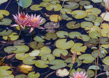 Flowers of pink lotuses in a pond Royalty Free Stock Photos