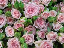 Flowers. Pink flowers magic day Stock Image