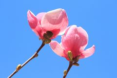 Flowers of pink Magnolia Royalty Free Stock Photography
