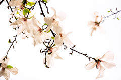Flowers of pink magnolia. On a white background Stock Photography