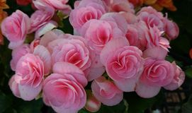 Flowers. Pink nature be-sweet begonia plant stock image