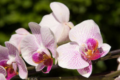 Flowers  pink orchid Royalty Free Stock Image