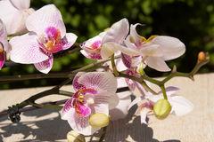 Flowers  pink orchid Stock Photography
