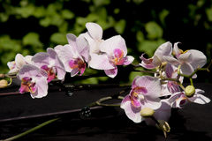 Flowers  pink orchid Royalty Free Stock Photos