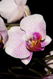 Flowers  pink orchid Royalty Free Stock Photography