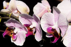 Flowers  pink orchid Stock Images