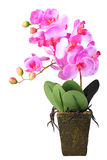 Flowers of pink orchid royalty free stock photography