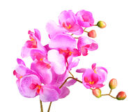 Flowers of pink orchid Royalty Free Stock Image