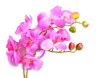 Flowers of pink orchid stock photos