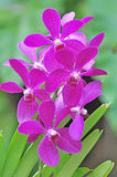 Flowers pink orchids Stock Photography