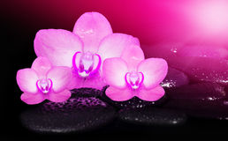 Flowers pink orchids and black stones. Spa concept. Flowers pink orchids and black stones Royalty Free Stock Photos