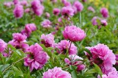 Flowers Pink Peonies Stock Photo