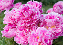 Flowers pink peonies in the garden Stock Photography