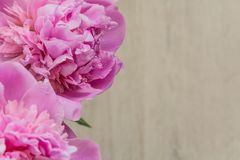 Flowers of pink peonies on Mother`s Day. Close-up Royalty Free Stock Images