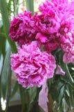 Flowers  pink peony Stock Image