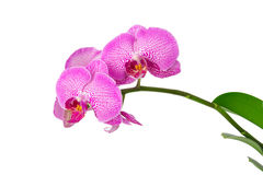 Flowers pink phalaenopsis orchid. On a branch isolated Stock Photo