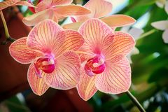 Flowers of pink phalaenopsis orchids in sunlight. Inflorescence closeup Stock Photos