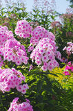 Flowers of pink phlox closeup Stock Image