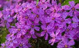 Flowers pink phlox Stock Images