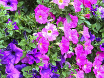 Flowers of pink and purple petunias Royalty Free Stock Photo