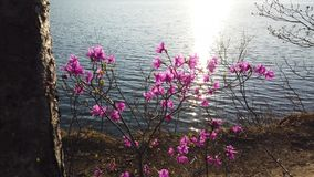 Flowers pink rhododendron. In the background of water in the back stock video footage