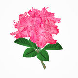 Flowers pink rhododendrons twig Mountain shrub vector Stock Image